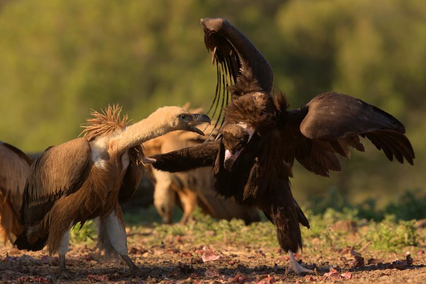 nxYm3Fj9JPOOx9rgPXX3Eksu-griffon-black-vulture-fight