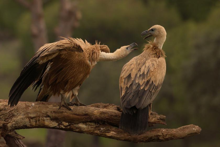 qEJz3kmhE3NY1z1CuPhqSwm1-griffon-vulture-0005