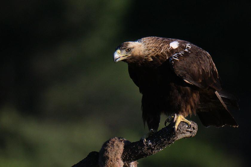 sat6q3YSvFaQCwTAmDNtsrGF-spanish-imperial-eagle-0004