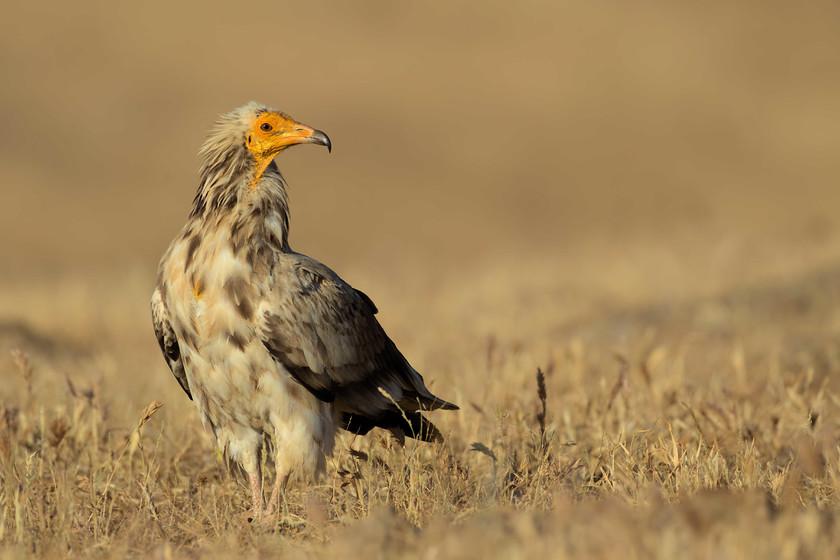xxziE5kG5xrz9i1fWqEZAFQq-egyptian-vulture